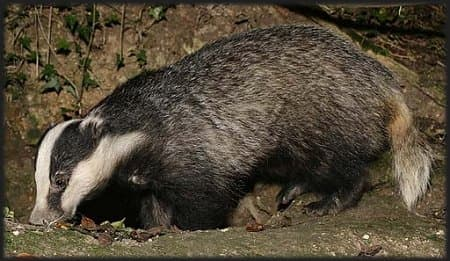 Eurasion badger